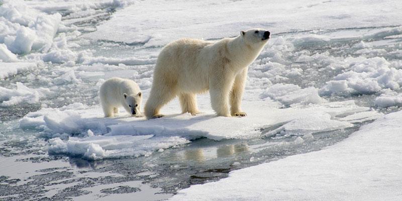 Eisbar und Junges auf kleiner Eisscholle