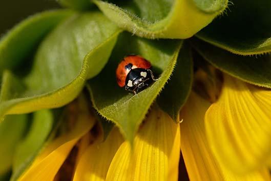 Marienkäfer auf Sonnenblume